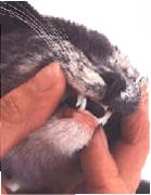 Examining a cat's mouth