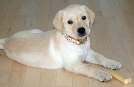 herbie the puppy laying on the floor and looking into the camera