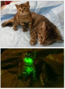 picture off cats sitting in the light looking normal, followed by cats sitting in the dark and glowing green from the inside