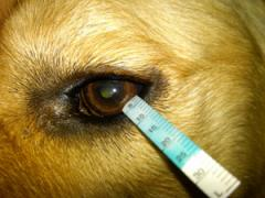close up for dogs eye and them receiving a tear test
