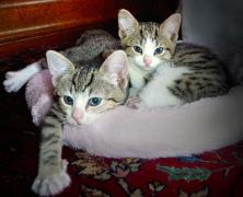 two little kittens snuggled up in a blanket together