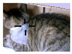 A cat with sarcoma
