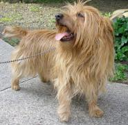 australian terrier with it's tongue out on a leash