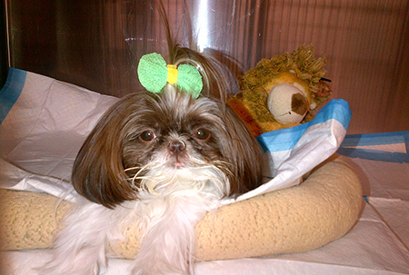 LuLu the dog with a cute bow on her head at Animal Medical Center