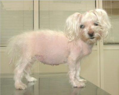 Perro con síndrome de Cushing
