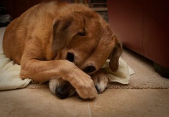 A dog covering its face with its paws