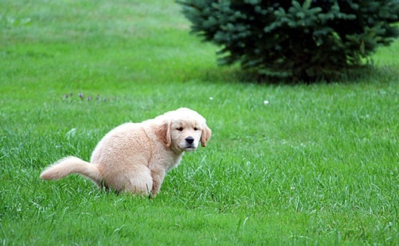 A dog takes a poop on a lawn