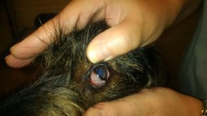 Eye with third eyelid exposed
