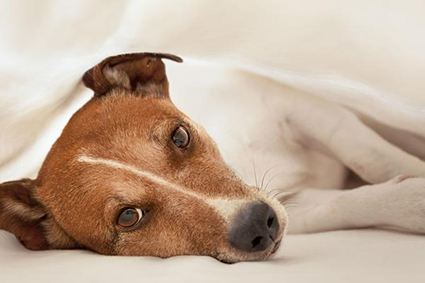 A dog lying under the covers