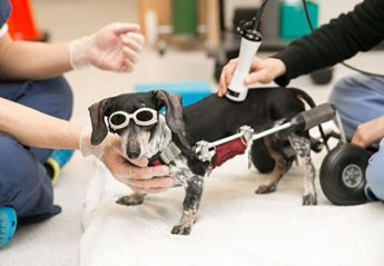 A dog receiving laser therapy at the Animal Medical Center