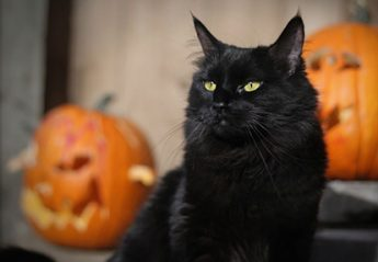A black cat in front of some pumpkins