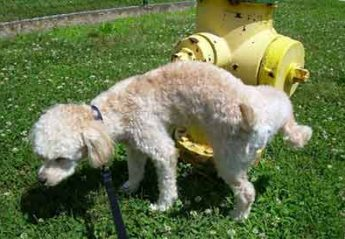 A dog pees on a fire hydrant