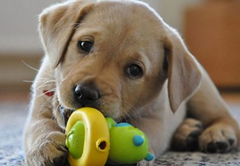 A puppy with a dog toy