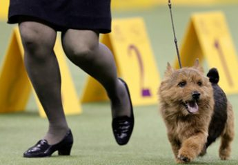 A dog on a leash at the westminster dog show