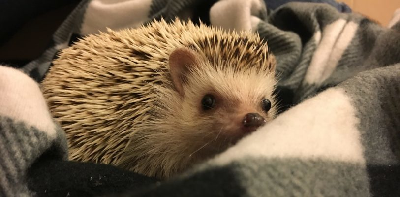 Lucy the hedgehog on a blanket