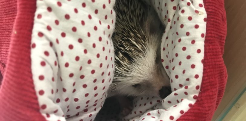 Lucy the Hedgehog snuggling in a blanket