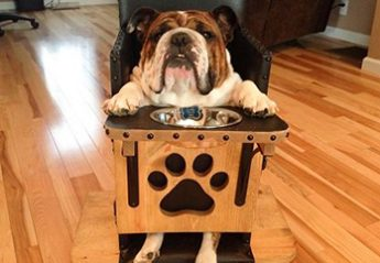 A bulldog sits in a special chair for eating