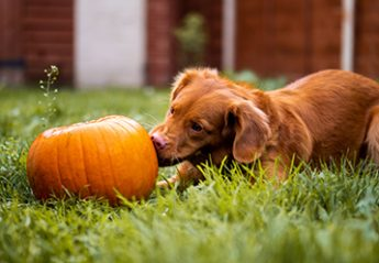 A dog plays with a pumpkin