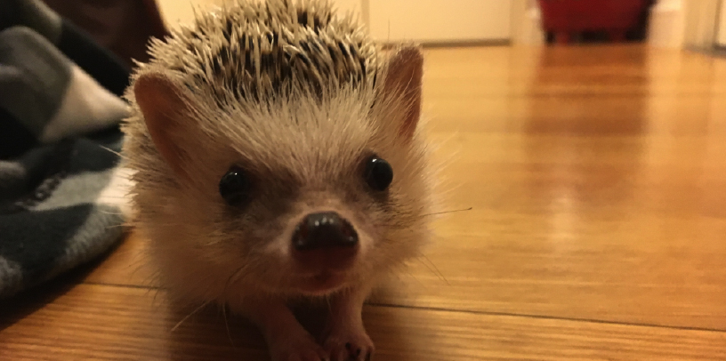 Lucy the hedgehog