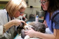 Two medical professionals closely examine a rabbit who sits on an examination table