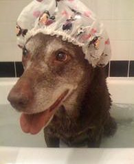 A dog sits in a bath wearing a shower cap