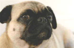 A small pug looking concerned