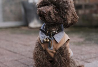 A small, brown poodle with a perplexed look