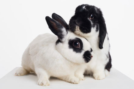 Two bunnies cuddle
