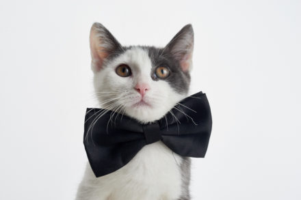 A cat wearing a bowtie
