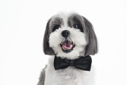 A happy small dog wears a bow tie