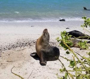 Seal in the Galapagos