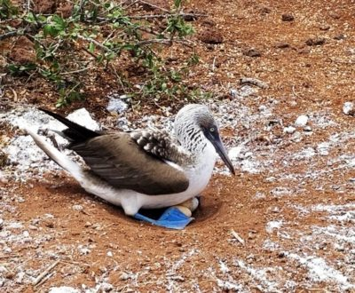 A blue-footed bobby sits on eggs in the Galapagos
