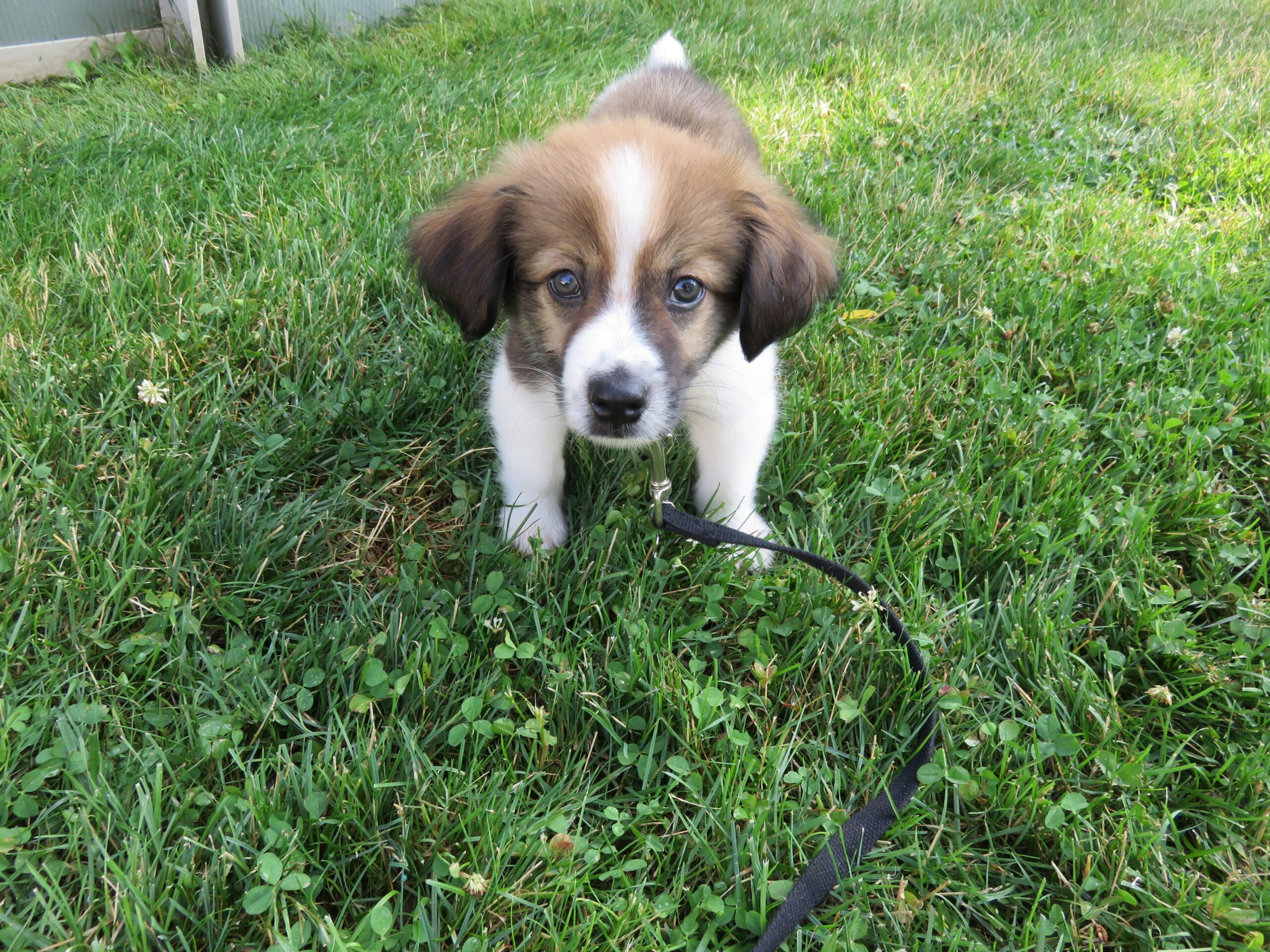 A cute brown and white puppy plays in some grass