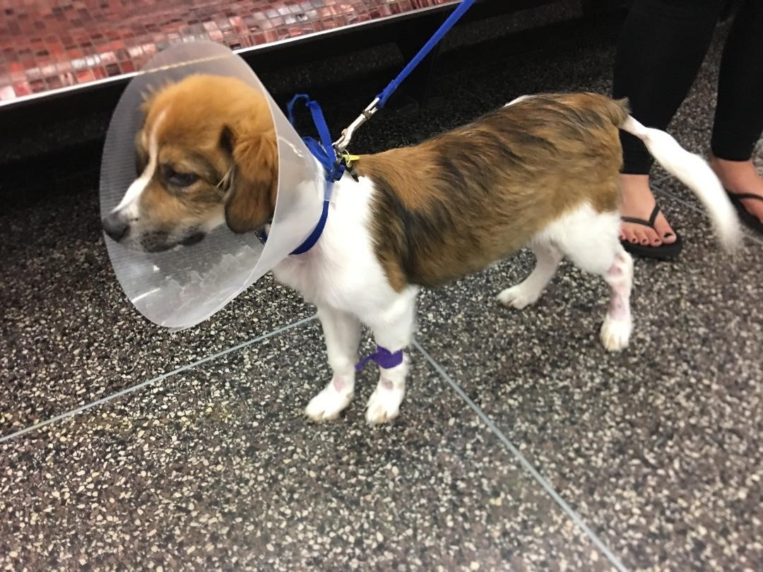 A brown and white dog with a cone around its head at the Animal Medical Center