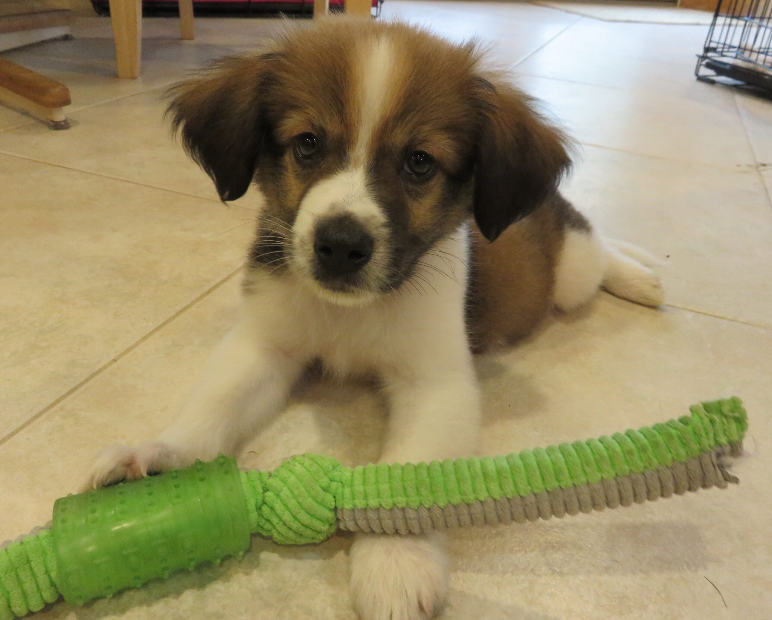 A small brown and white puppy plays with a chew toy