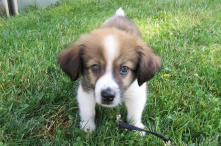 A puppy stands in a field of green grass