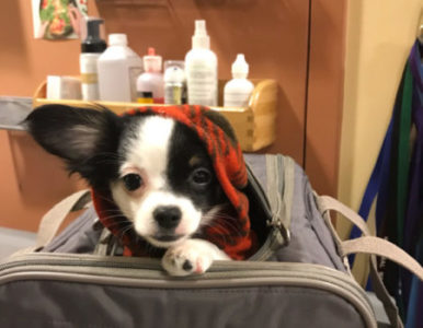 A puppy poking its head out of its doggy carrier