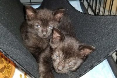 Foster kittens being raised at AMC