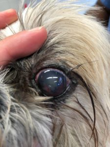 After treatment, the corneal ulcer is healed and the eye is less red