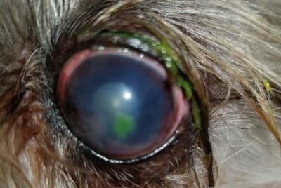 A dog's eye with a corneal ulcer stained green with fluorescein