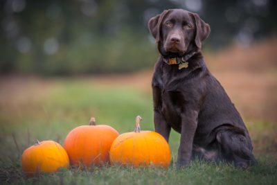 A brown lab sits in the grass next to pumpkins