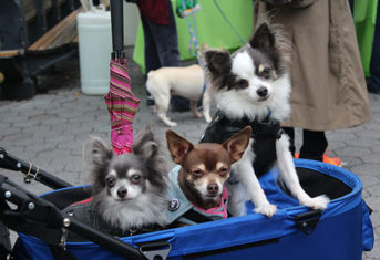 Dogs in cart at My Dog Loves Central Park Fair