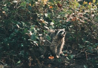 A racoon glares from some underbrush