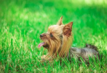 Yorkie with mouth open lying in grass