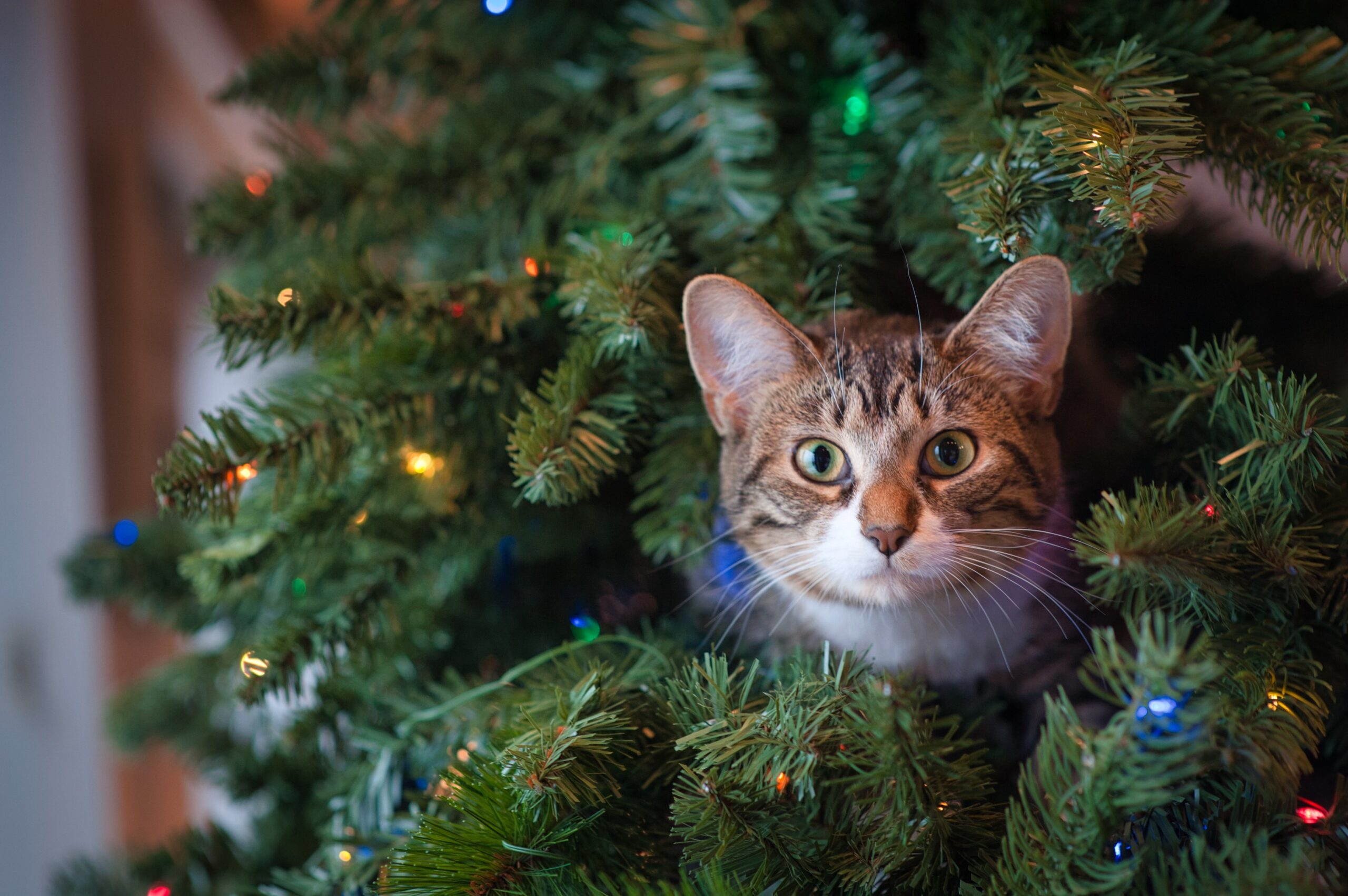 A cat pokes its head out of Christmas tree with a surprised look on its face