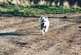 A small white dog running on a dirt path