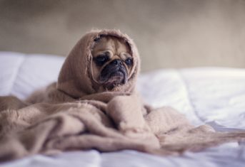 A pug is wrapped up in a blanket on a bed