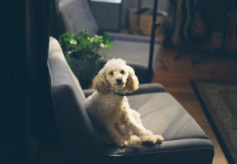 A small white poodle sitting on a couch in the sun