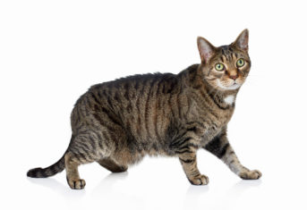 A cat stands against a white background