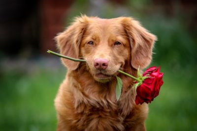 A dog holds a rose in its mouth